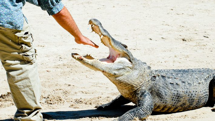Man's hand in crocodile's mouth